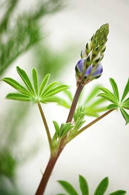 Lupin Photograph - Lupin (lupinus Succulentus) by Maria Mosolova