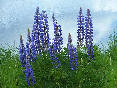 Photograph - Lupine 1 by Gene Cyr