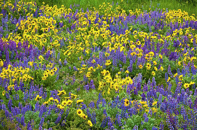 Lupine And Balsamroot, Dalles Mountain Art Print by Greg Vaughn