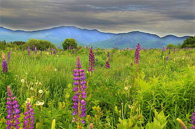 Lupine Breeze  Art Print by Andrea Galiffi