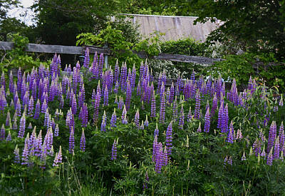 Photograph - Lupine By The Fence by Nancy Griswold