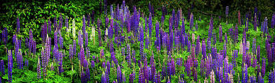 Thunder Bay Photograph - Lupine Flowers Near Thunder Bay by Panoramic Images