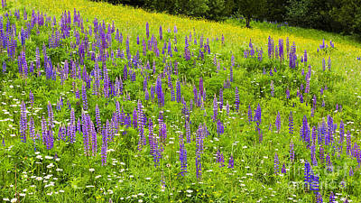Photograph - Lupine Meadow by Alan L Graham