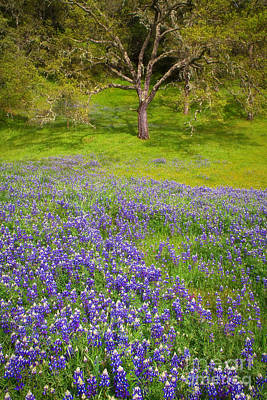 Photograph - Lupine Oak by Alice Cahill