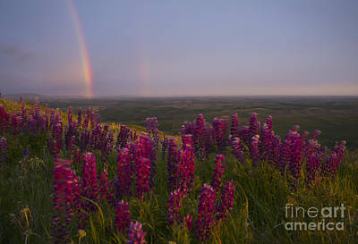 Photograph - Lupine Rainbow by Idaho Scenic Images Linda Lantzy