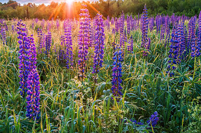 Photograph - Wild Lupine Field At Sunrise by Expressive Landscapes Fine Art Photography by Thom