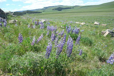 Photograph - Lupine by Susan Woodward