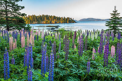 Photograph - Lupine View 2 by Susan Cole Kelly