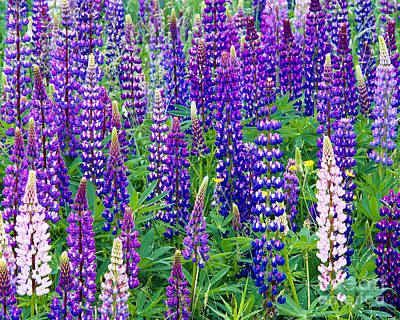 Photograph - Lupines by Alan L Graham