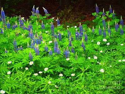 Photograph - Lupines And Daisies 111 by Tammy Bullard