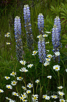 Photograph - Lupines And Daisies by Bob Christopher