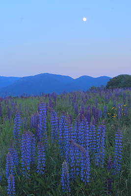 Lupines And Moon Sugar Hill White Mountains Art Print by John Burk