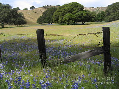 Photograph - Lupines And Oaks by James B Toy