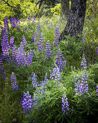 Photograph - Lupines In Forest by Jean Noren