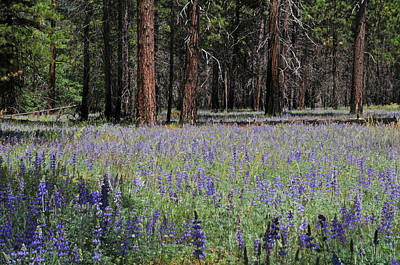 Photograph - Lupines In Yosemite Valley by Lynn Bauer