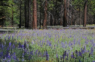 Lupines In Yosemite Valley Art Print by Lynn Bauer