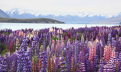 Photograph - Lupins At Tekapo by Nareeta Martin