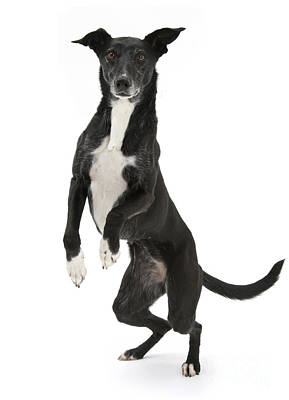 Lurcher Standing On Hind Legs Art Print by Mark Taylor