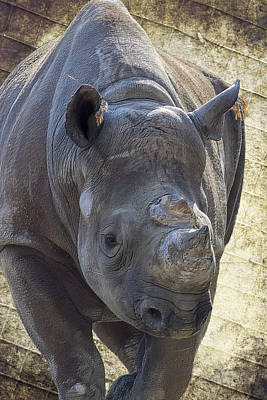 Lurching Rhino Art Print by Bill Tiepelman