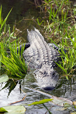 Photograph - Lurking Alligator by Martha Marks