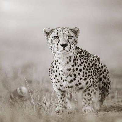 Lurking Cheetah Art Print by Regina Mueller