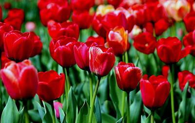 Luscious Red Tulips Original by Rosanne Jordan