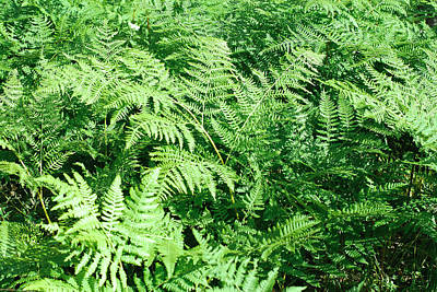 Photograph - Lush Green Fern by Connie Fox