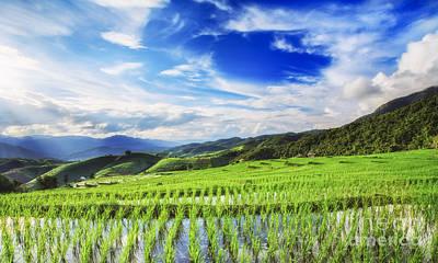Asian Landscape Photograph - Lush Green Rice Field  by Anek Suwannaphoom