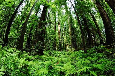 Photograph - Lush Redwoods by Benjamin Yeager