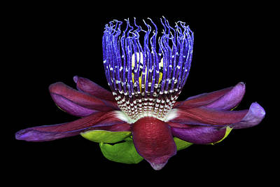 Passiflora Photograph - Lux Extasi by Joseph Erbacher