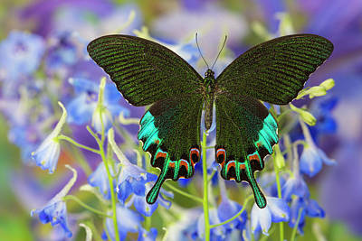 Blue Delphinium Photograph - Luzon Peacock Swallowtail Butterfly by Darrell Gulin