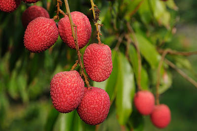 Photograph - Lychee Fruit On Tree by Bradford Martin