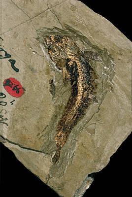 Lycoptera Bony Fish Fossil Art Print