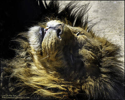 Photograph - Lying Lion African Lion Aka Panthera Leo by LeeAnn McLaneGoetz McLaneGoetzStudioLLCcom