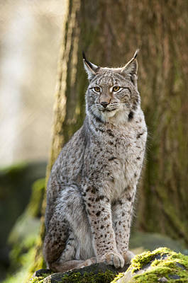 Bigcat Photograph - Lynx by Andy-Kim Moeller