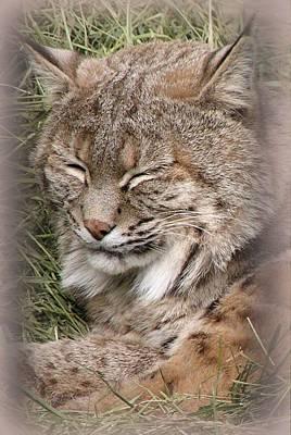 Photograph - Lynx by Diane Alexander