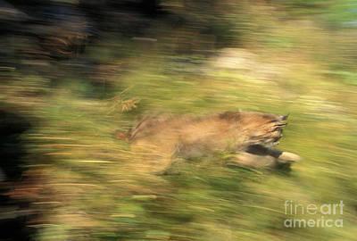 Lynx Felis Lynx Art Print
