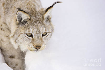 Lynx Photograph - Lynx In Snow by Gry Thunes