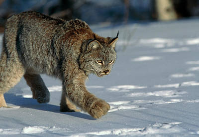 Lynx Wall Art - Photograph - Lynx In Snow by William Ervin/science Photo Library