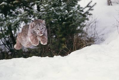 Lynx Wall Art - Photograph - Lynx Leaping by William Ervin/science Photo Library