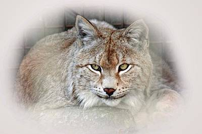 Photograph - Lynx by Pat Moore