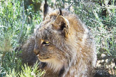 Lynx Peering Out Original