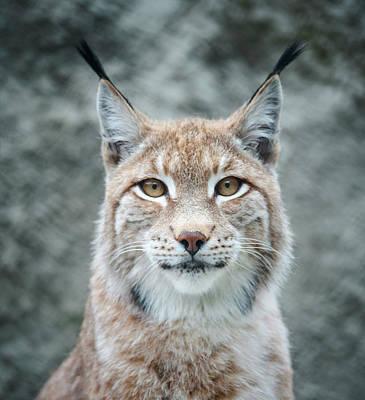 Lynx Portrait Art Print by Photographs By Maria Itina