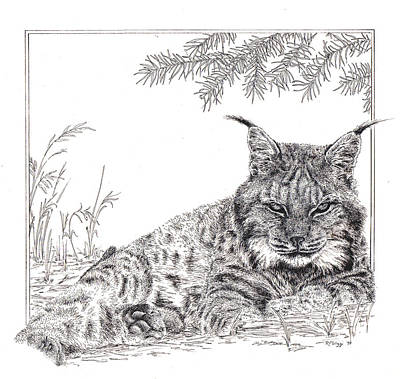Canadian Lynx Drawing - Lynx by Rita Polizzi