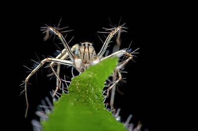 Arachnid Photograph - Lynx Spider by Melvyn Yeo