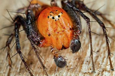 Lynx Photograph - Lynx Spider by Nicolas Reusens