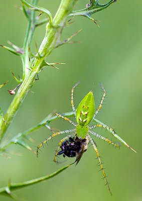 Photograph - Lynx Spider With Prey by Melinda Fawver