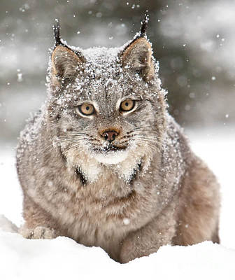 Aloha For Days - Lynx Stare by Jerry Fornarotto