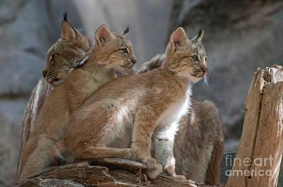Photograph - Lynx Trio by Bianca Nadeau