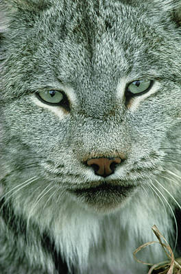 Lynx Wall Art - Photograph - Lynx by William Ervin/science Photo Library